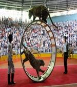 石燕湖——大型猛虎表演
